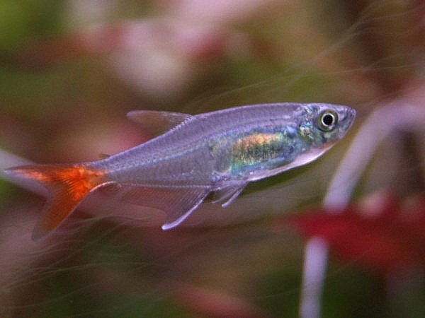 Glass Bloodfin Tetra Keeping Tropical Fish
